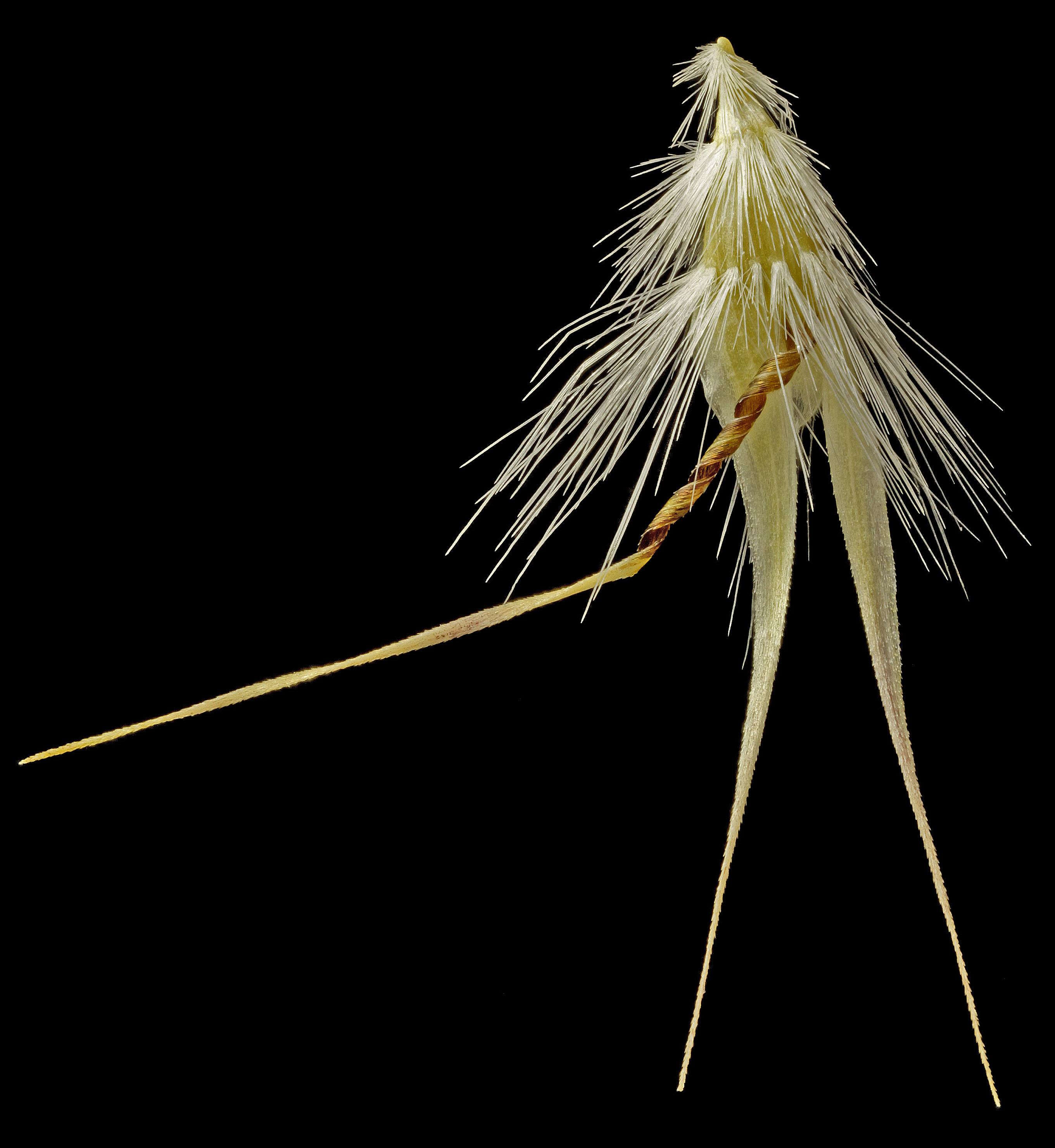 R.monicola-1050pix.jpg