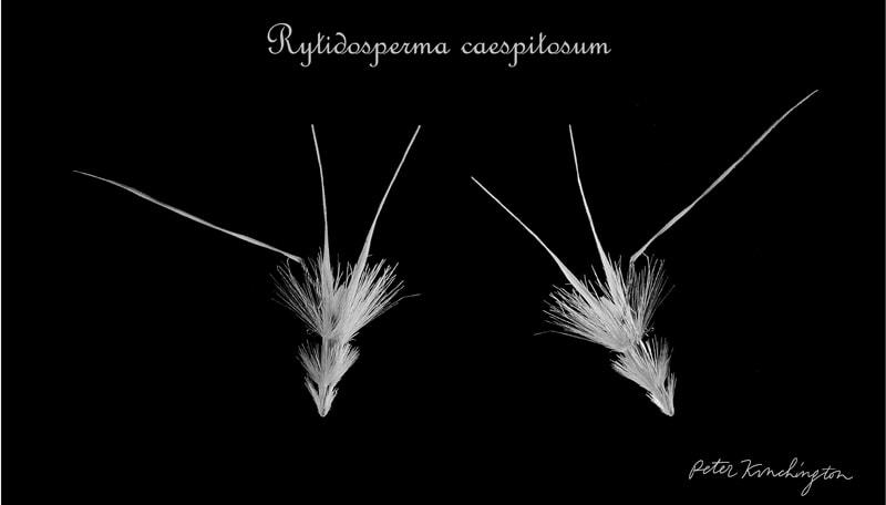 rcaespitosa-small.jpg