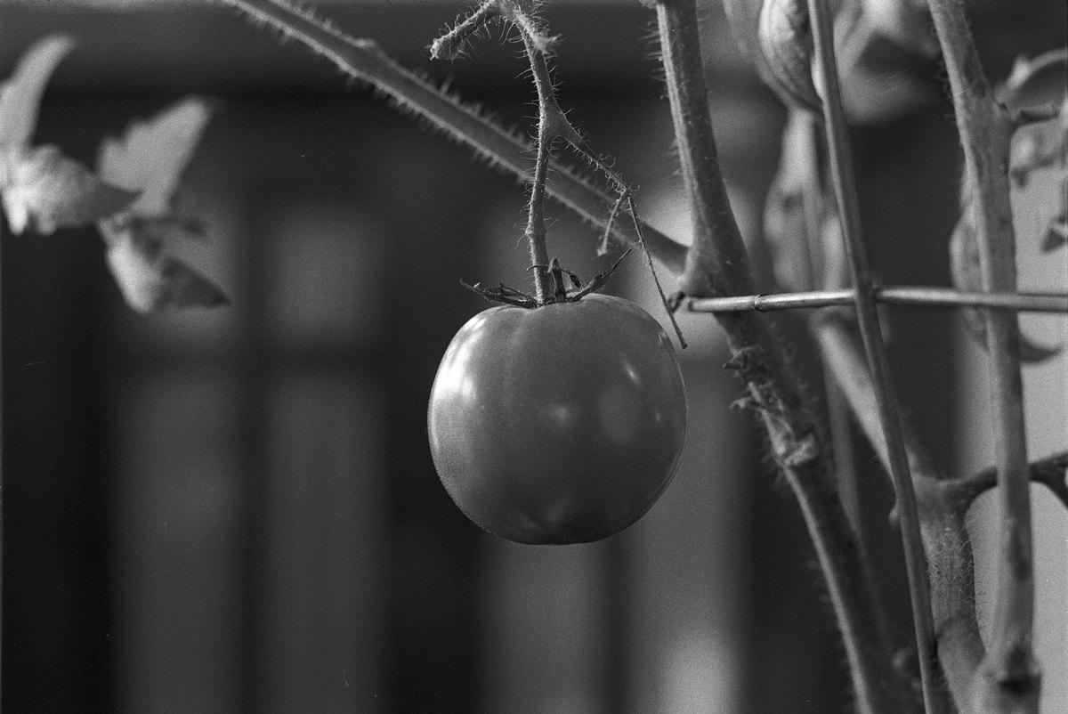Tomato02-Vicksburg_20170128_resize.jpg
